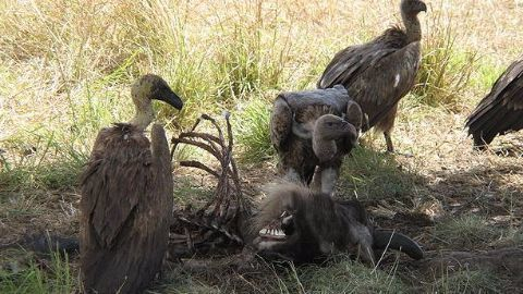 Importance of vultures in ecosystem