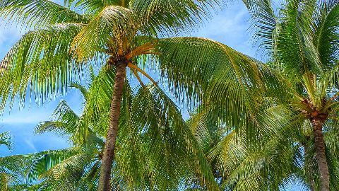 Goa to classify coconut tree as 'palm'