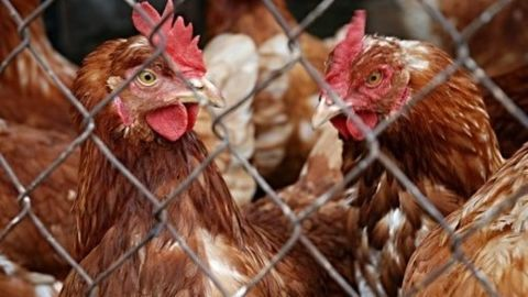 India loses the poultry dispute to US