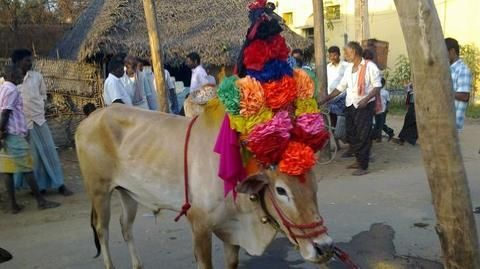 Jallikattu begins in Madurai