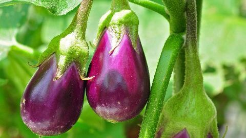 The Bt Brinjal debate