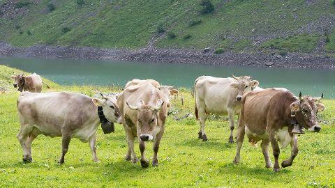 SC refuses beef ban plea hearing in Jammu