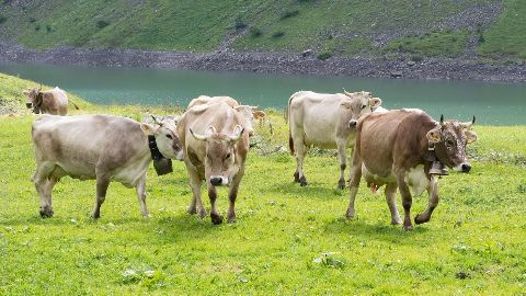 Anti-beef bill would conserve cattle: Dhankar