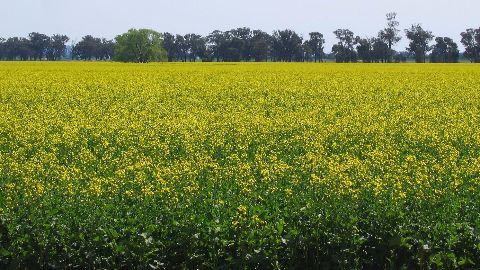 Centre seeks to review GM mustard proposal
